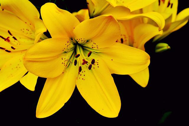 Lily, Yellow Lily, Lilium, Blossom, Bloom, Flower