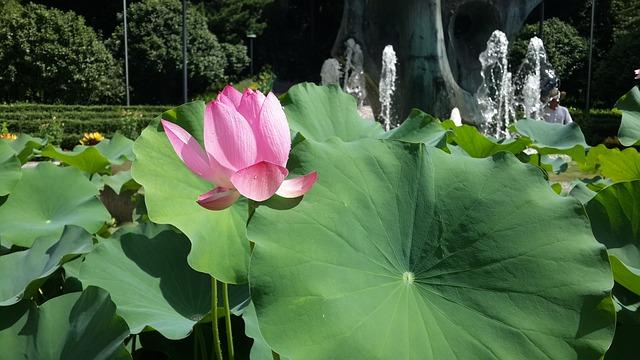 Lotus, Flower, Pink, Green Leaf, Park, Pond, Summer