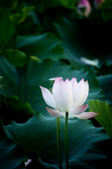 Flower, Lotus, Natural, Photography