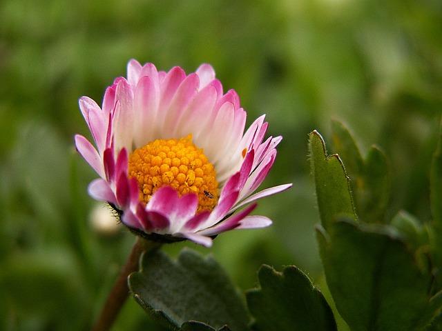 Daisy, Flower, Macro, Flowers, Lawn, Petals, Pink