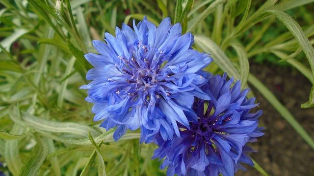 Flower, Macro, Plant, Blue, Bloom, Cornflower