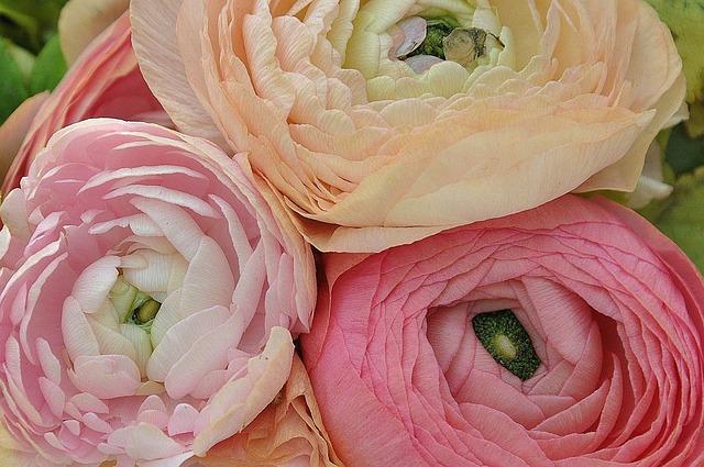 Ranunculus Asiaticus, Flower, Nature, Macro, Pink, Rose