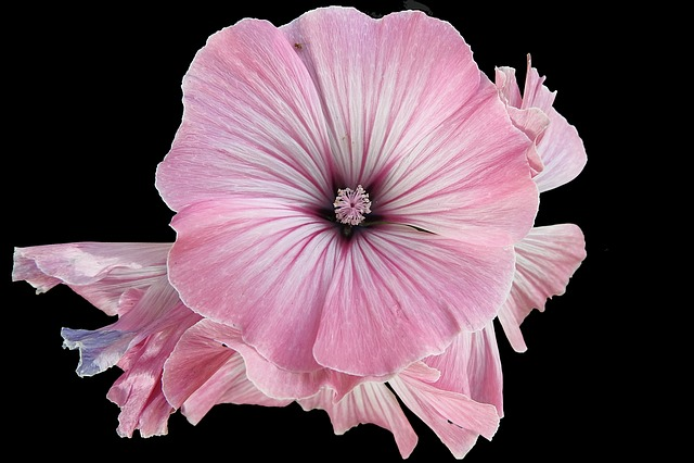 Mallow, Hollyhock Flower, Summer, Stock Rose, Flower