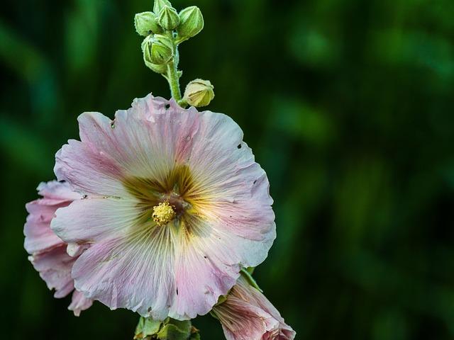 Stock Rose, Hollyhock, Flower, Mallow, Blossom, Bloom