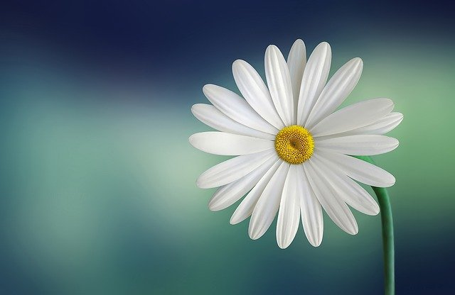 Marguerite, Daisy, Flower, White, Beautiful, Beauty