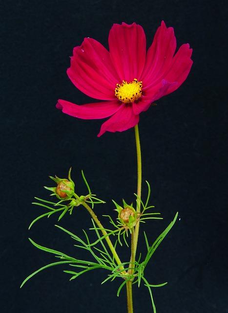 Cosmea, Beautiful Körbchen, Flower Meadow, Flower
