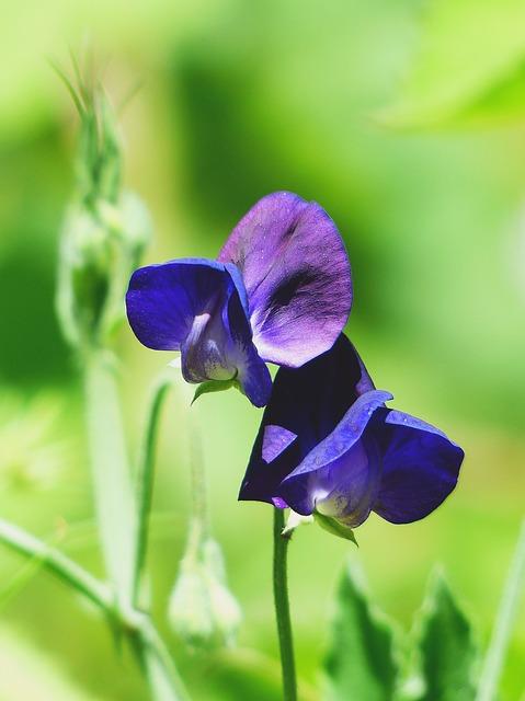 Vetch, Flower Meadow, Blue, Blossom, Bloom, Flower