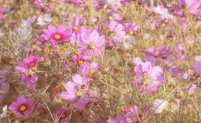 Cosmeas, Flowers, Cosmos, Field, Flower Meadow