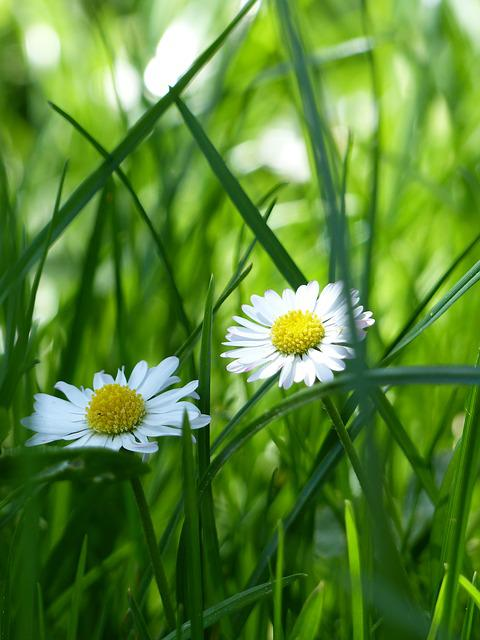 Daisy, Meadow, Flower Meadow, Green, Spring, Nature