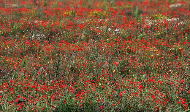 Poppies, Wildflowers, Red, Field, Meadow, Flower, Poppy