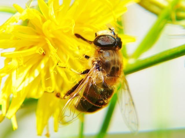 Bee, Hawkweed, Flower, Flower Meadow, Insect, Plant