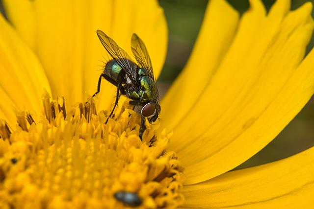 Pointed Flower, Fly, Insect, Flower Meadow, Yellow