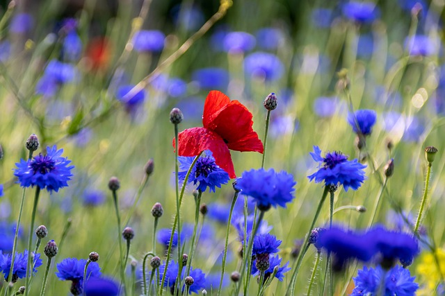 Poppy, Cornflower, Flower Meadow, Wild Flowers, Nature