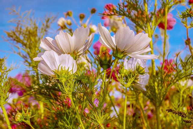 Cosmea, Flowers, Bloom, Flower Meadow, Nature, Summer