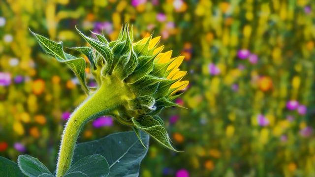 Sun Flower, Summer Meadow, Flower Meadow, Beautiful