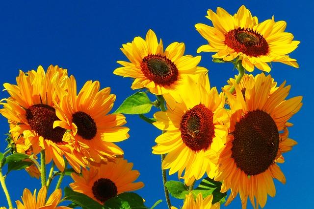 Sunflower, Flower Meadow, Bee, Golden October, Close Up