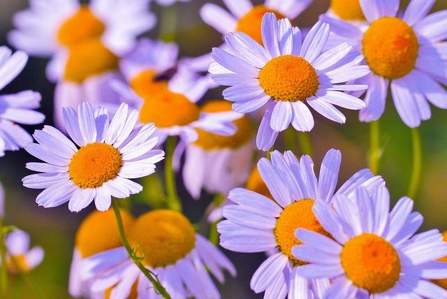 Flower, Chamomile, Medicinal Flower, Medicinal, Nature