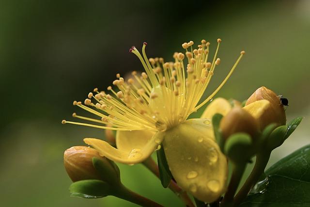 St John's Wort, Flower, Yellow, Medicinal Plant