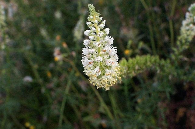 Wau, Mignonette, Reseda Alba, Flower, White, White Wau