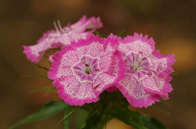 Pink Flowers, Carnations, Flower Mottled