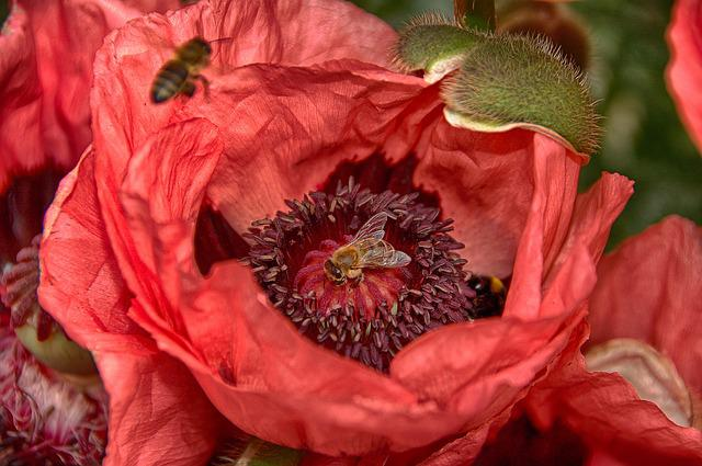 Flower, Bee, Nature, Insect, Plant, Poppy