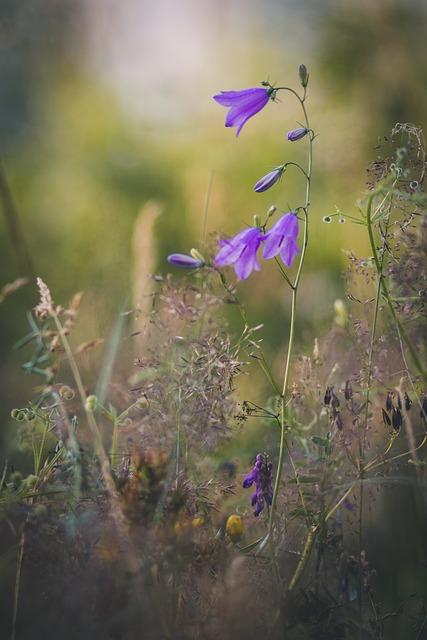 Bellflower, Nature, Flower, Blossom, Bloom, Purple