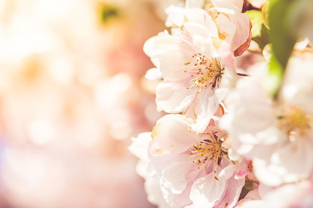 Flower, Nature, Cherry, Flora, Branch, Tree, Blooming