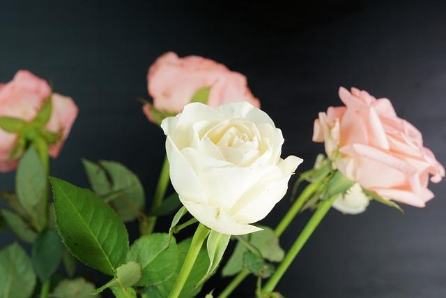 Rose, Flower, Blossom, Bloom, Pink, Nature, Pink Rose