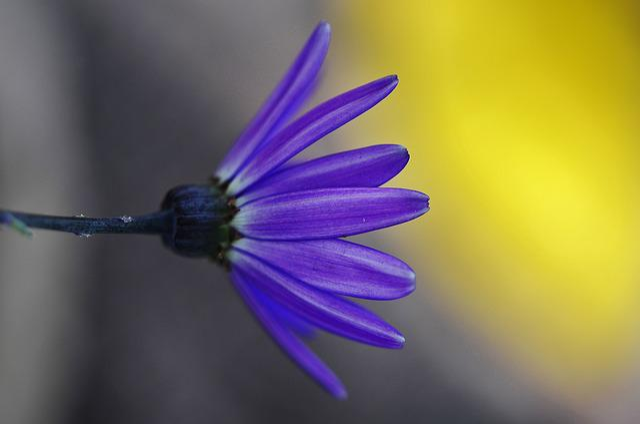 Cineraria, Flower, Nature, Garden, Plant, Green, Macro