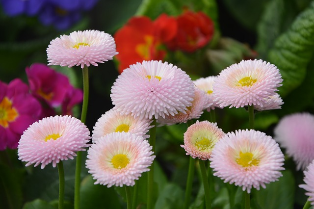 Flower, Flowers Pomponnettes Roses, Nature, Flowers