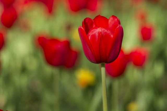 Flower, Tulips, Red, Vivid Color, Flowers, Nature