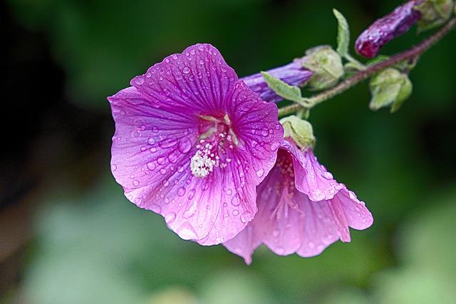 Flower, Hollyhock, Summer, Nature, Garden, Flowering