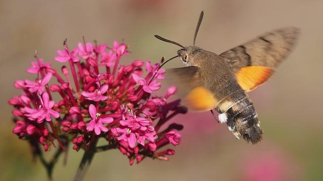 Nature, Butterfly, Sphinx Moth, Flower, Macro