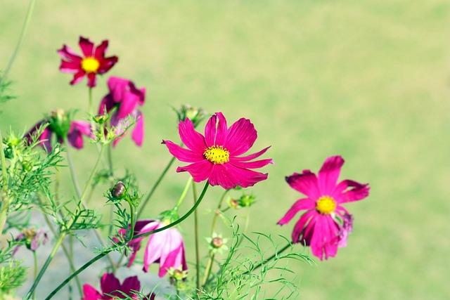 Flower, Nature, Petals, Rosa, Violet, Summer Flowers