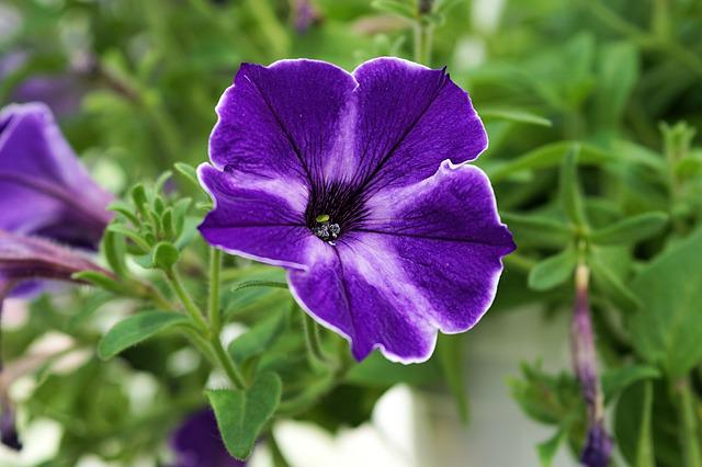 Petunia, Flower, Blossom, Bloom, Plant, Blue, Nature