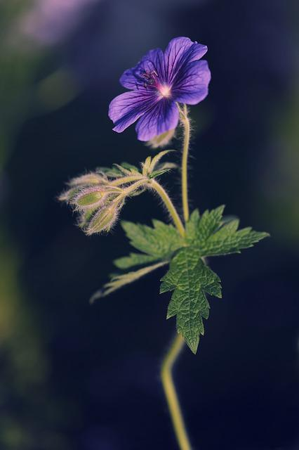 Cranesbill, Flower, Plant, Nature, Purple, Garden