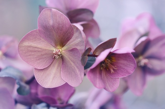 Flower, Plant, Nature, Garden, Petal, Christmas Rose