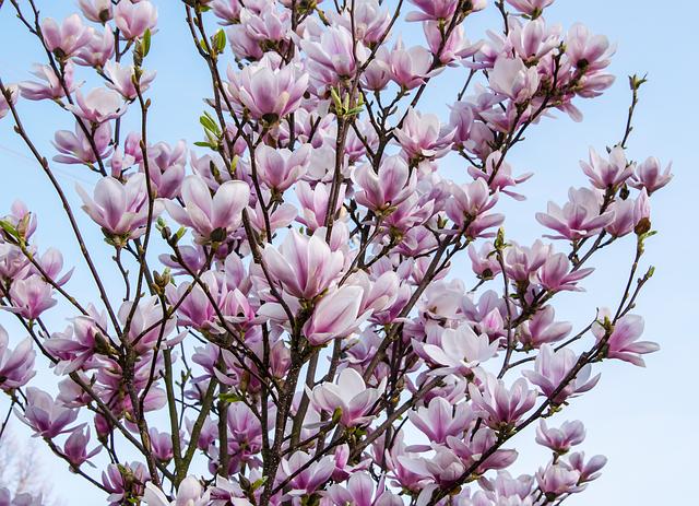 Flower, Plant, Nature, Branch, Petal, Magnolia, Color
