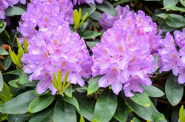 Flower, Nature, Garden, Plant, Leaf, Rhododendron