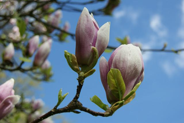 Flower, Magnolia, Nature, Plant, Tree