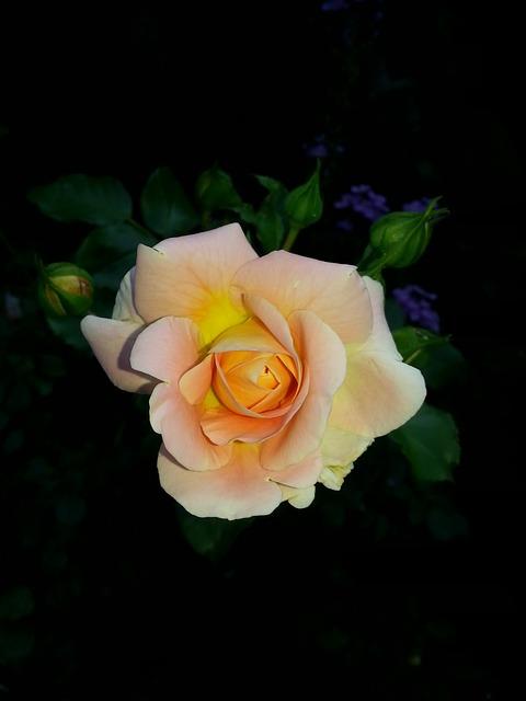 Rose, Flower, Salmon, Nature, Rose Bloom, Close