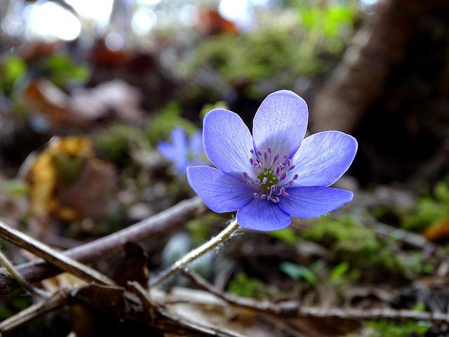 Nature, Plant, Leaf, Flower, Season, Hepatica