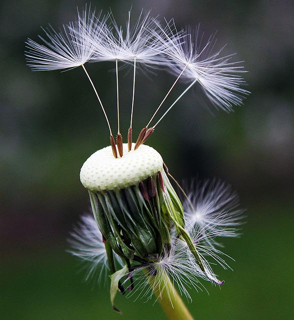 Dandelion, Seeds, Nature, Spring, Flower