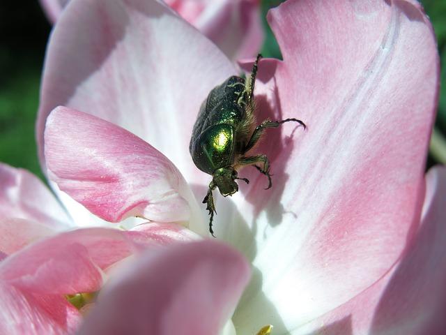 Shiny Rose Gold Beetle, Flower, Tulip, Nature, Plant