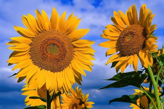 Flora, Nature, Flower, Sunflower, Summer, Tournesol