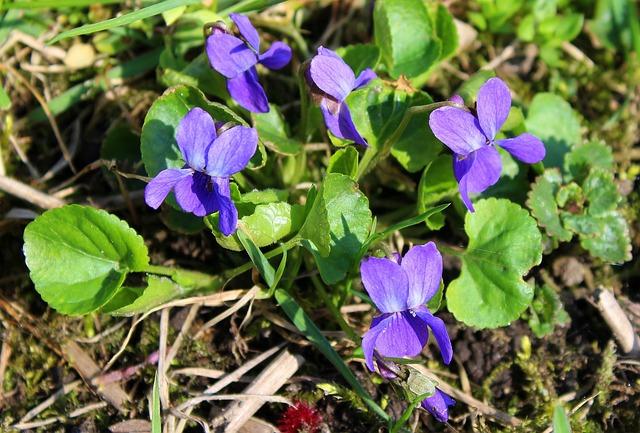Violet, Spring Flowers, April, Nature, Flower, Plant
