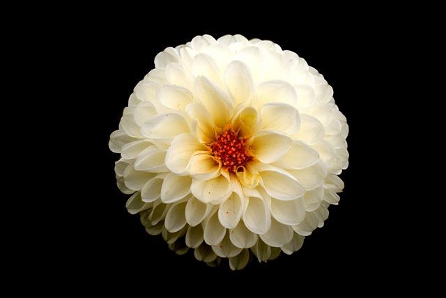 Nature, Flower, Desktop, White, Dahlia, Simple