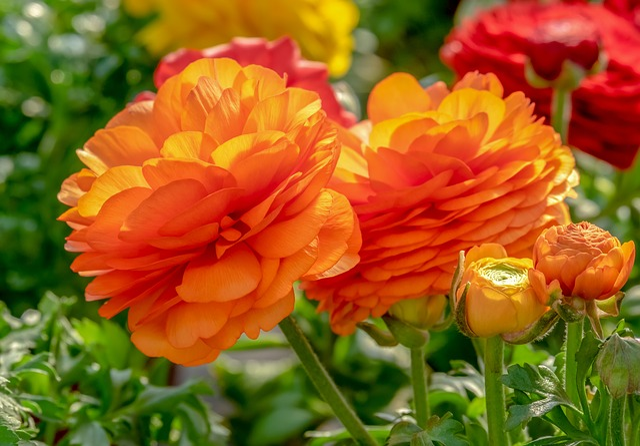 Ranunculus, Flower, Blossom, Bloom, Bright, Orange