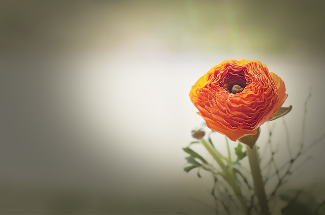 Flower, Ranunculus, Orange, Blossom, Bloom, Petals