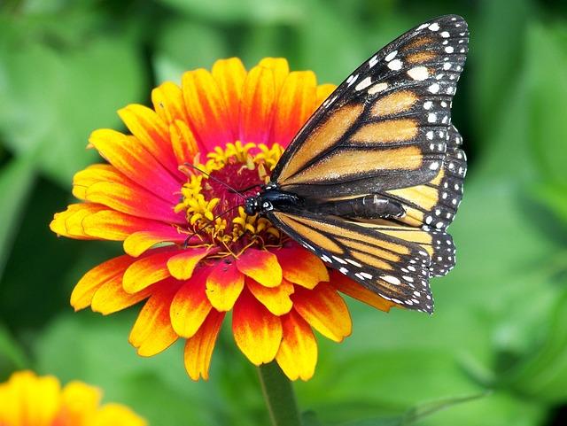 Monarch, Butterfly, Flower, Zinnia, Orange, Pink, Red